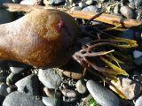 bull kelp.jpg