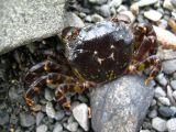little crab.jpg