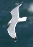 plenty of gulls cruising quite low and near