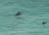 porpoises, not sure how you photograph them in the wild from 300 feet above