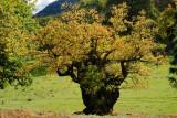 oak tree believed to be 1000 years old