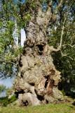 1000 year old ash