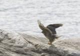 Gyrfalcon (Jaktfalk) Falco rusticolus
