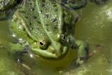 Edible Frog (Ätlig groda) Rana esculenta
