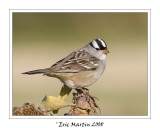 Bruant à couronne blanche / White crowned sparrow