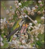 Anna's Hummingbird's nest