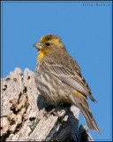 House Finch, Yellow variant