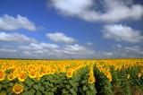 Sunflowers, 28.6.2008