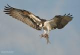 Visarend - Osprey - Pandion haliaetus