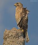 Roodschouderbuizerd - Red-shouldered Hawk - Buteo lineatus