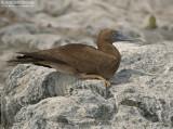Bruine Gent - Brown Booby - Sula leucogaster