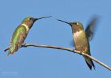 Robijnkeeltje - Ruby-throated Hummingbird - Archilochus colubris