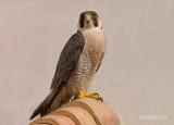 Slechtvalk - Peregrine - Falco peregrinus