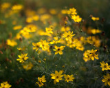 Morning Coreopsis