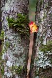 Fallen Leaf Caught Between Trees