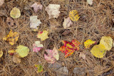 Fallen Leaves on Pine Needles #1