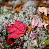Red Maple Leaf on Reindeer Moss