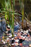 Leaves Fallen Among Pond Grasses #2