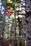 Backlit Red Leaf Caught on Branch