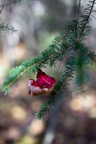 Red Leaf Caught in Pine Branch #1