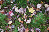 Fallen Leaves on Moss