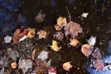 Fallen Leaves on Water #1