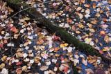 Fallen Leaves on Water #7