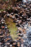 Fallen Fern Leaf on Water