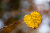 Another Last Yellow Leaf Variation