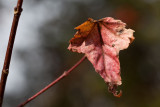 A Last Red Leaf