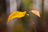 Last Leaf Pair #1