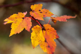 Last Leaf Pentad