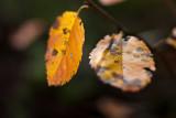 Last Leaf Pair #2