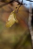 Last Leaf by Birch