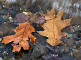 Leaves at the Water's Edge #1