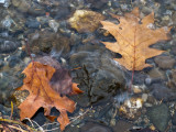Leaves at the Water's Edge #2