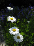 Daisies by Irises