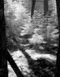 Sunlit Pines