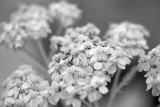 Little White Flowers (Yarrow?)