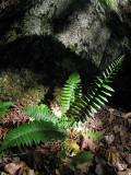 Ferns by Rock