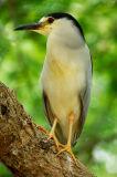 Observant Heron