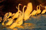 Egrets At First Light
