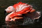 Chilean Flamingo 06