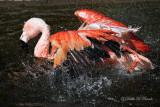Chilean Flamingo 07