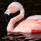 Chilean Flamingo 09