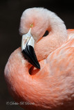 Chilean Flamingo 05