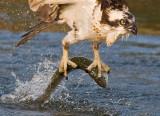 ospreyfishcrop1.jpg