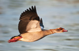 Hey I'm not a duck!  I'm an Egyptian goose