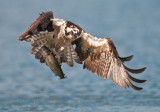 osprey and trout