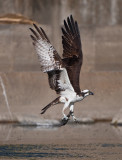 osprey and talapia